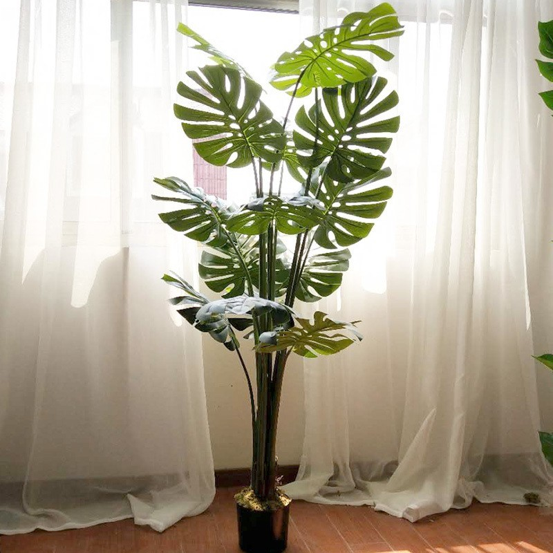 Cây trầu bà lá xẻ (Monstera) kích thước 1m6