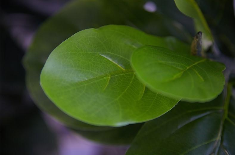 Lá bàng được sử dụng nhiều gam màu sắc xanh khác nhau. Để tạo độ đậm. nhạt và lưu dấu thời gian cho cây