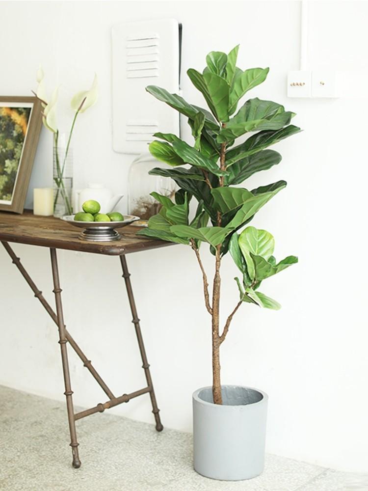 Cây bàng Singapore / Cây bàng Đài Loan được sử dụng nhiều trong trang trí