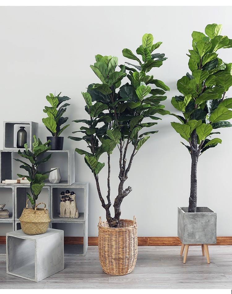 Vẻ đẹp của cây bàng Đài Loan trong không gian nội thất