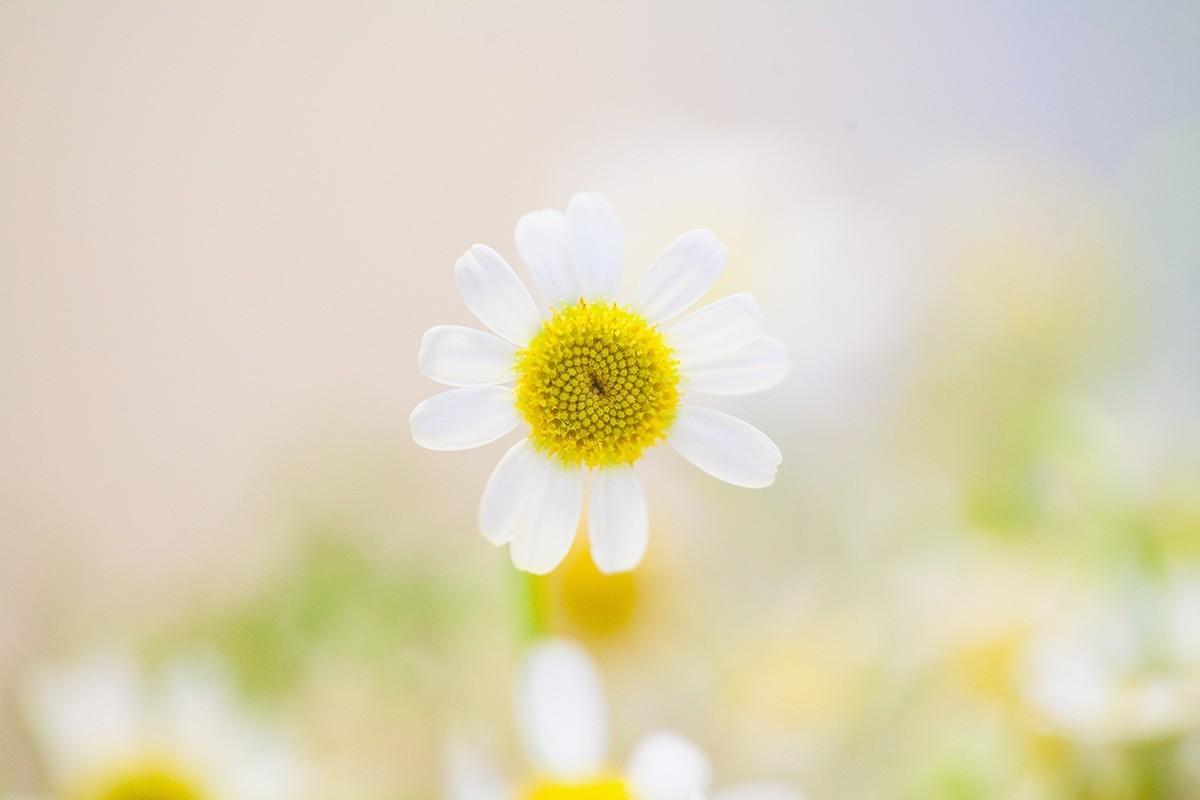 Cúc họa mi trắng loài ha mặt trời