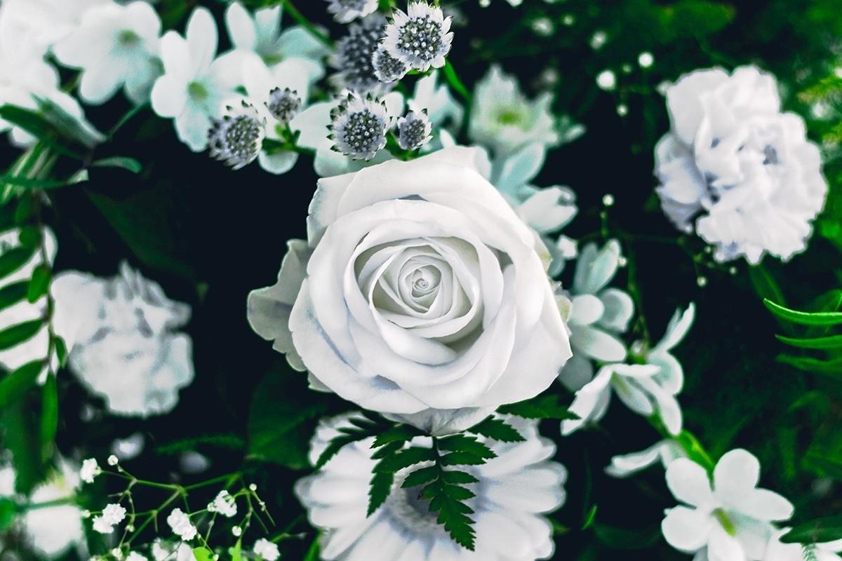 Hoa hồng trắng kiêu sa