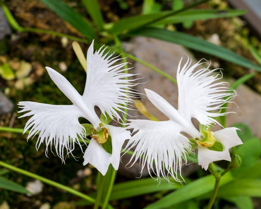 Hoa lan bạch hạc