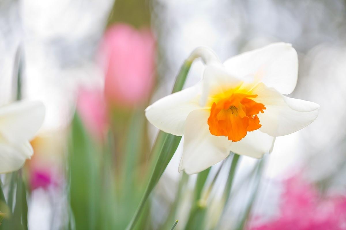 Hoa thủy tiên trắng có tên tiếng anh là Narcissus