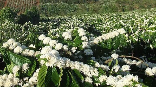 Rẫy cafe nở rộ đầy hoa