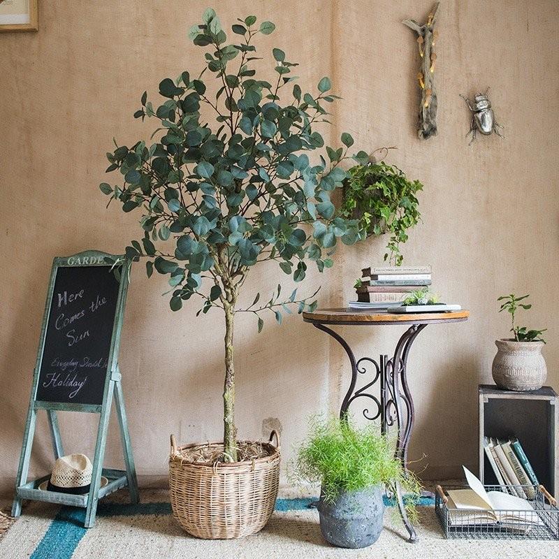Tán lá tròn của cây bạch đàn đem lại cảm giác thân thiện và gần gũi với thiên nhiên