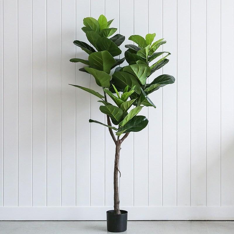 Cây bàng Singapore thân gỗ
