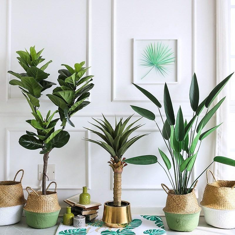 Bàng singapore thân gỗ trong trang trí nội thất