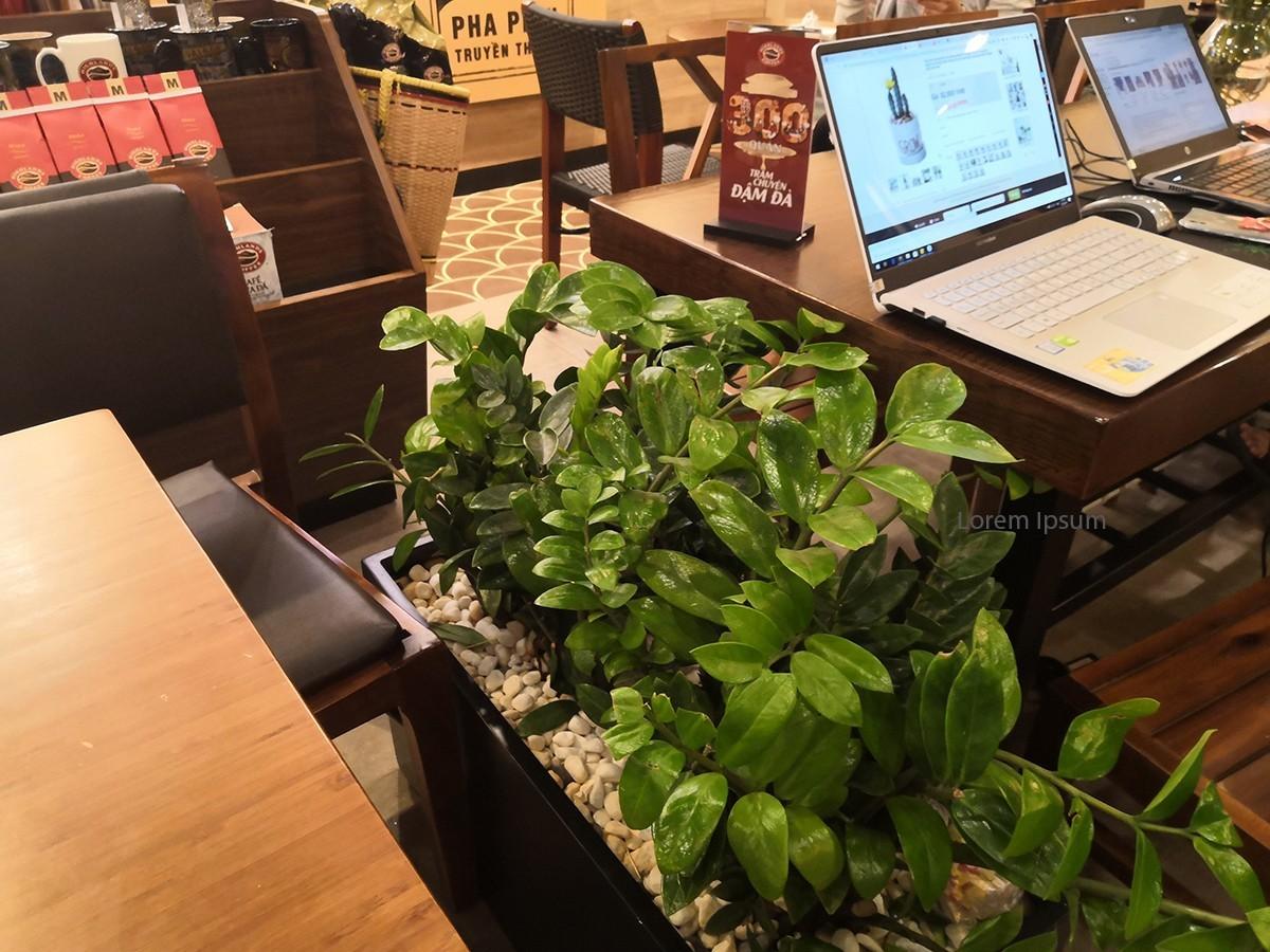 Cây kim phát tài được ưu chuộng trồng tại quán cafe HighLand