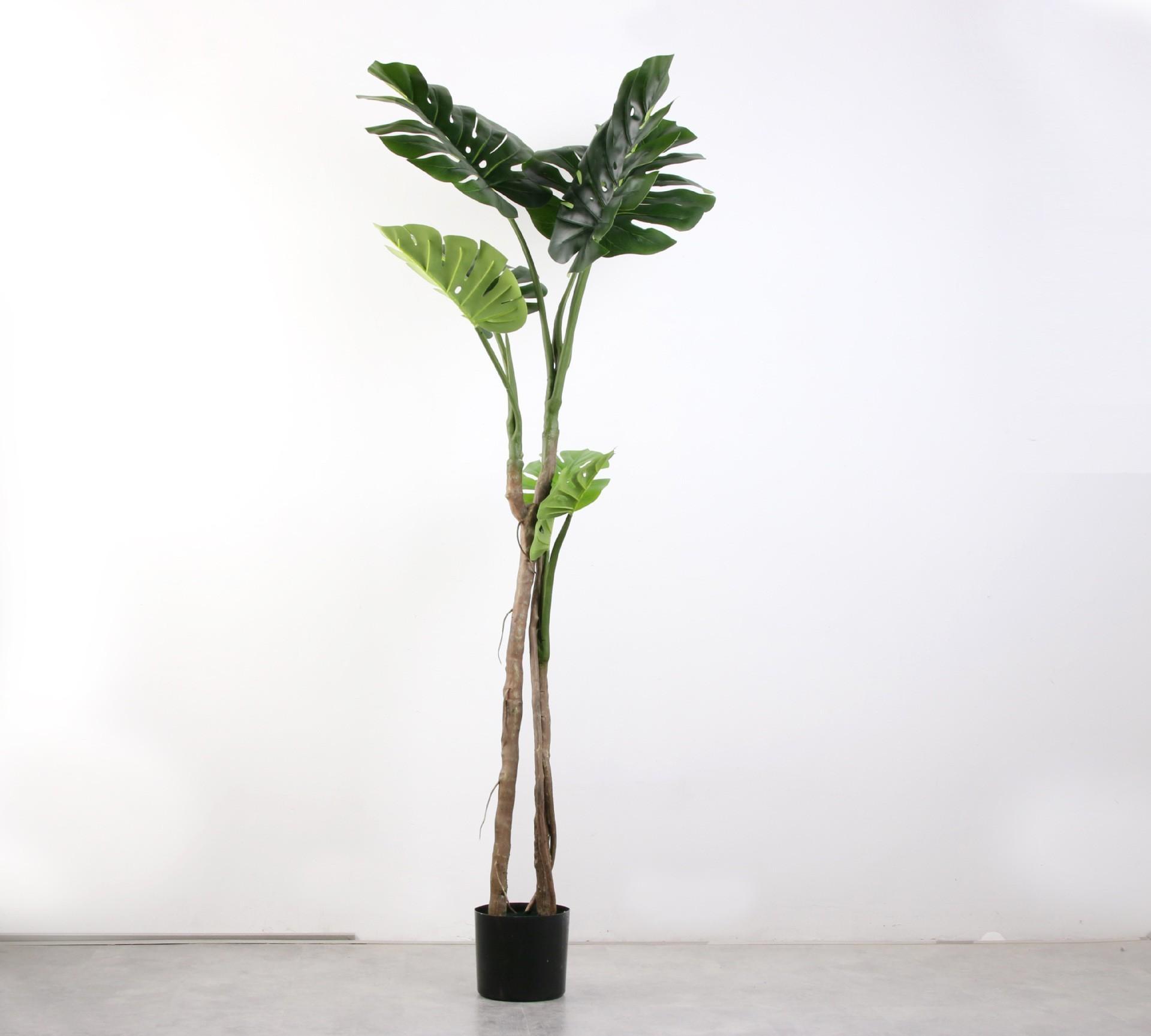 Cây Monstera nhiệt đới