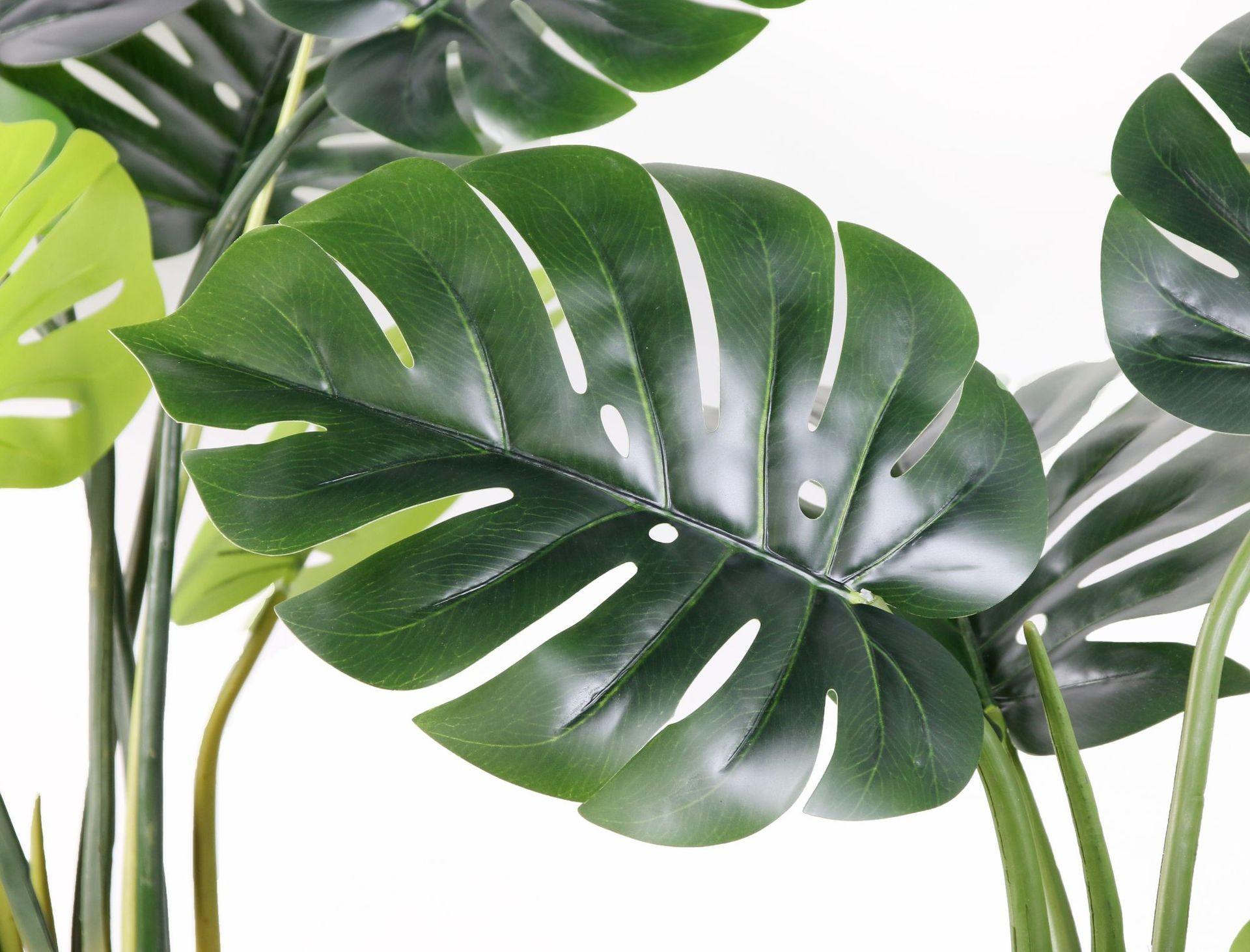 Lá của cây Monstera nhiệt đới