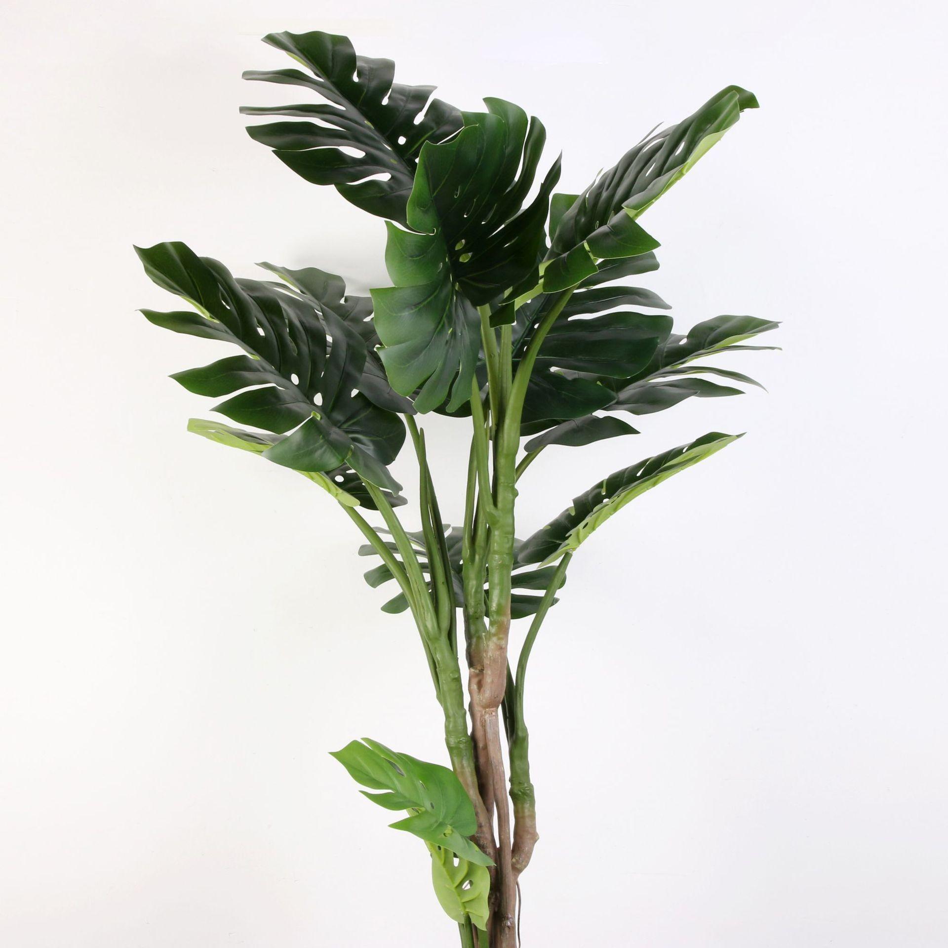 Điểm nhấn của cây Monstera nhiệt đới nằm ở phần tán lá phía trên và phần thân cây