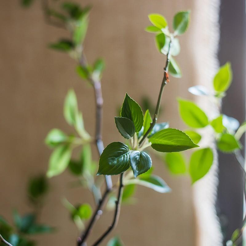 Lá cây khuynh diệp