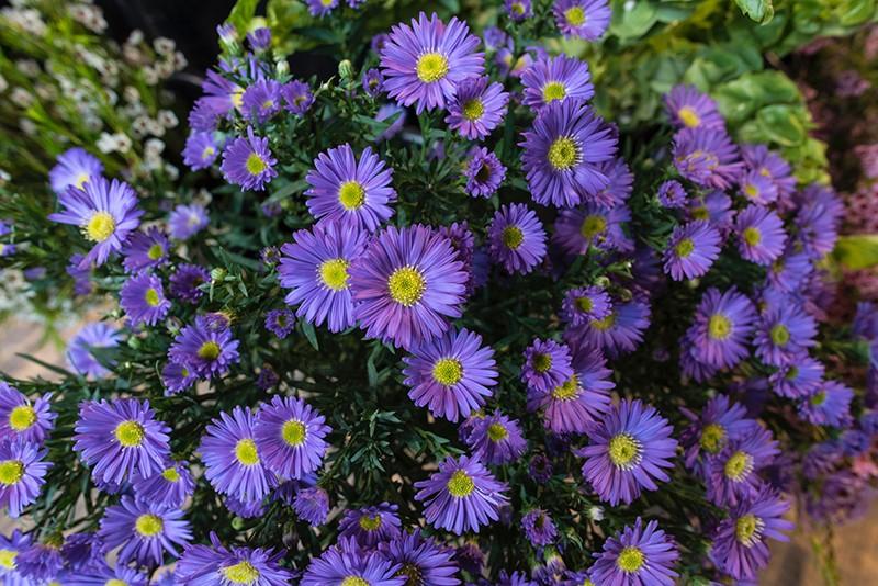 Hoa cúc họa my màu tím