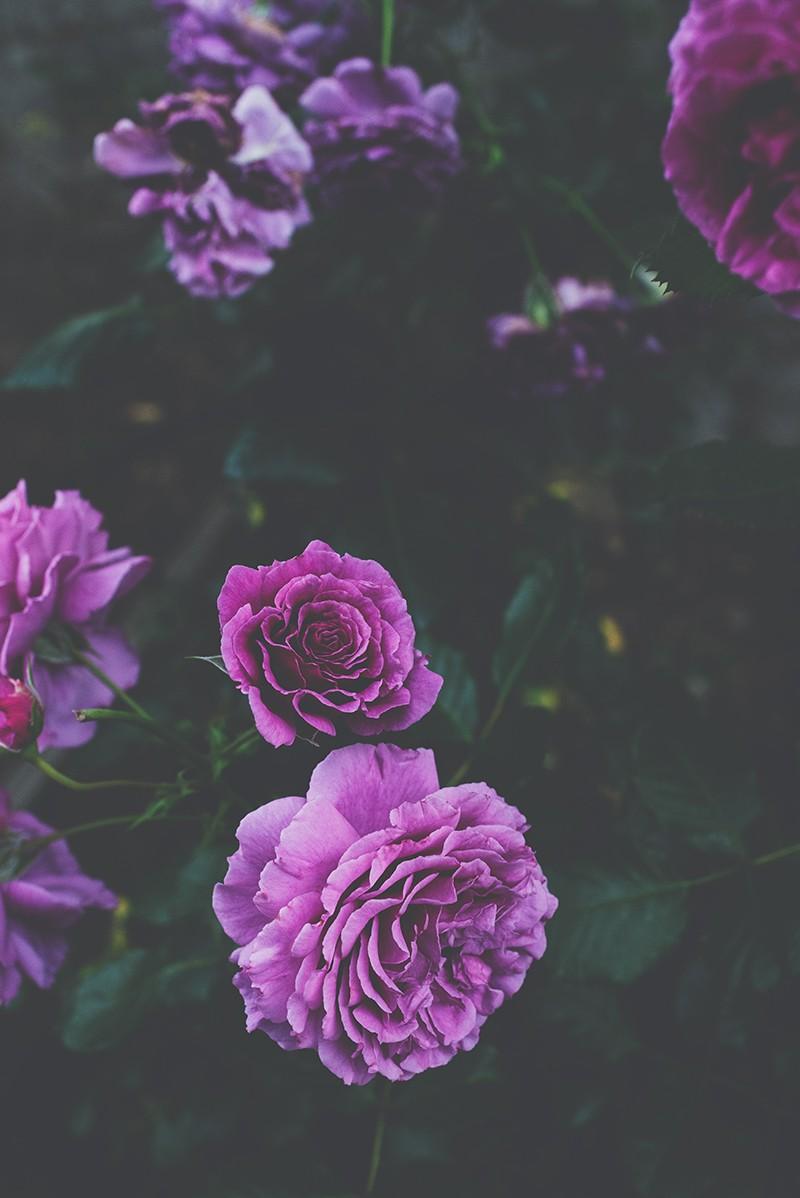 Màu tím của hoa cẩm chướng tượng trưng cho sự kiêu hãnh có phần ngạo mạn