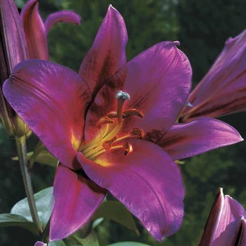Hoa Lily tím trong tự nhiên