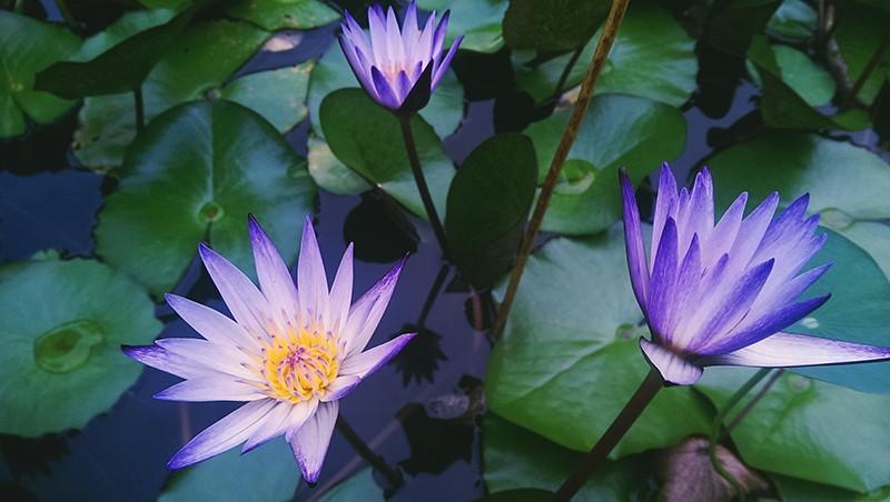 Hoa sen tím ý nghĩa, và biểu tượng